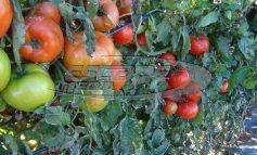 Υγειονομική «βόμβα»!: Κατασχέθηκαν χιλιάδες κιλά ντομάτας από Ιταλία και Αλβανία