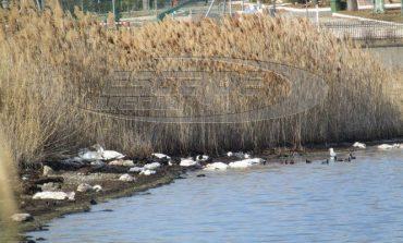 Νεκρά πουλιά στο Δέλτα Νέστου