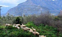 Καστοριά: Η αγωνία των κτηνοτρόφων στην καραντίνα -Πώς διανέμουν το γάλα, τι γίνεται με τα αιγοπρόβατα