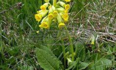 Το «λουλούδι του Δαρβίνου» που μάζευαν οι Αλβανοί πωλείται 50.000 ευρώ το κιλό