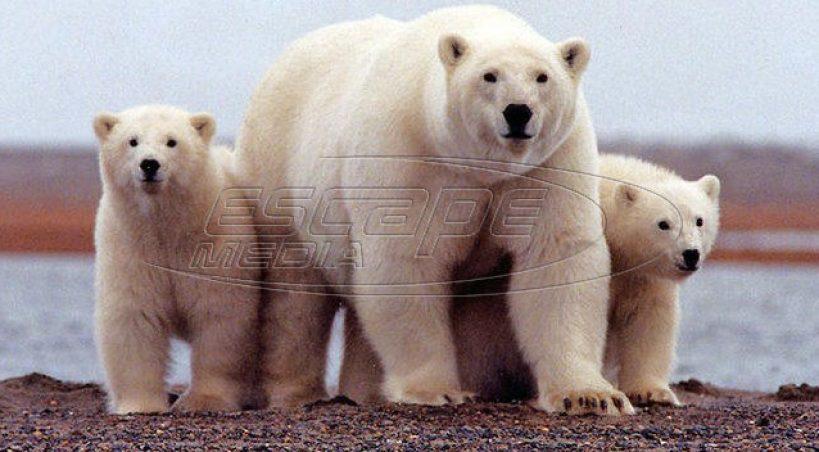 Αρκτική: Οι πολικές αρκούδες έφεραν κατάσταση έκτακτης ανάγκης