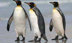 Ανταρκτική: Η κλιματική αλλαγή σχεδόν αφάνισε μία τεράστια αποικία αυτοκρατορικών πιγκουίνων-video-