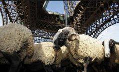 Γαλλία: Εγραψαν 15... πρόβατα σε σχολείο για να μην κλείσει μία τάξη!