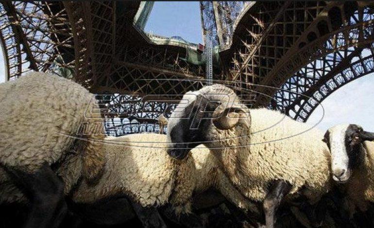 Γαλλία: Εγραψαν 15… πρόβατα σε σχολείο για να μην κλείσει μία τάξη!