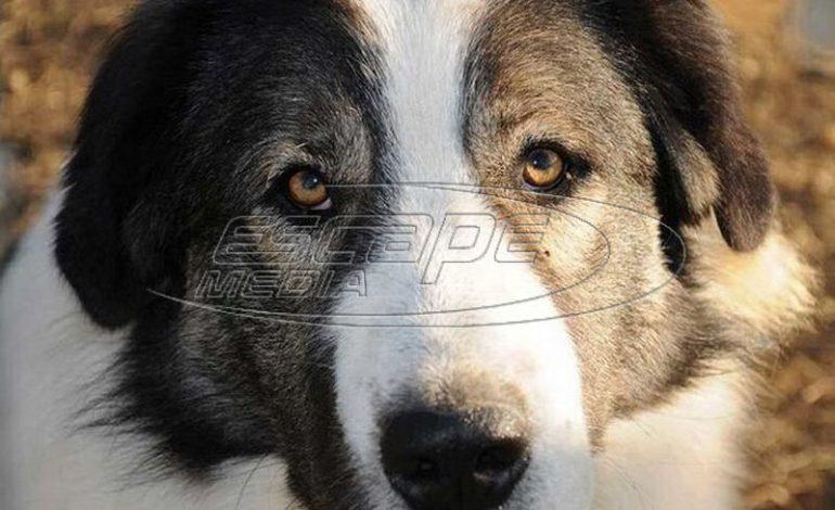 Νέο κρούσμα δηλητηρίασης ποιμενικών σκύλων στη Φλώρινα