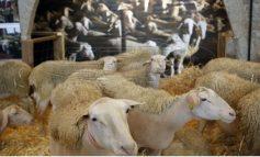 Εδιμβούργο: Μεταλλαγμένα πρόβατα κατά της νόσου Μπάτεν